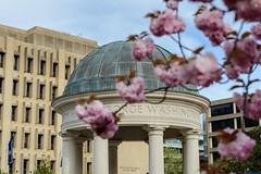 Cherry Blossoms at Kogan Plaza 2014.04.20 4.jpg