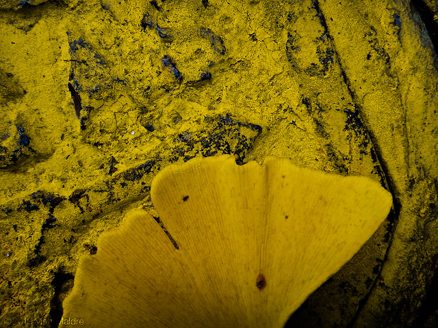 Yellow ginkgo leaf on gas cap
