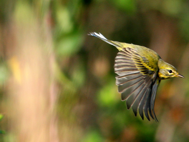 Prairie Warbler (Dendroica discolor) in flight 20101201