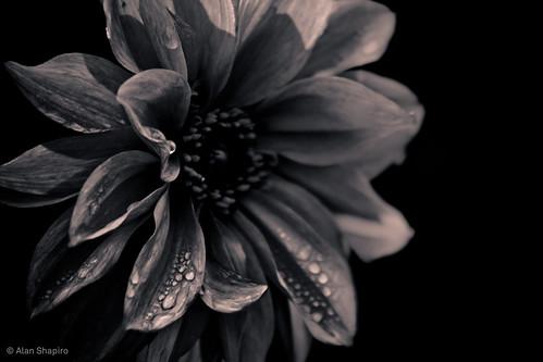 ashapiro515 alanshapiromonochromeflowersmonochromegardenmonochromeflowerphotography flowerphotographyalanshapiroflowerphotography monochromebloomsmonochromeblossomssepiaflowerphotographysepiagardenphotography©2010alanshapiroanotherdayinthegardenmomentsofmonochromebeautyflowerphotography
