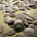 Eccentric sand dollar - Photo (c) Becky Gregory, some rights reserved (CC BY-ND)