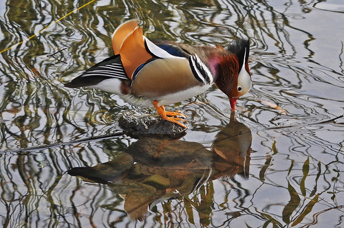 Mandarin Duck 30 November 2010