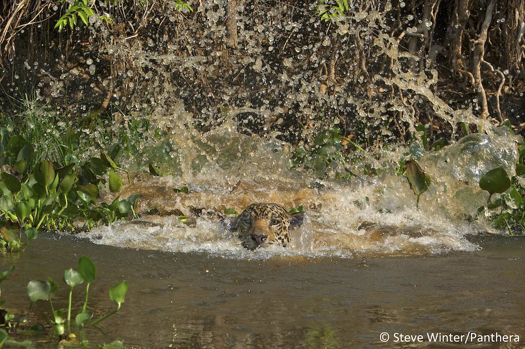 Jaguar post-leap - Brazilian Pantanal