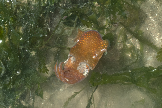 Bobtail or Bottletail squid (Sepiolida)