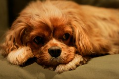 puppy(0.0), spaniel(0.0), dog breed(1.0), animal(1.0), dog(1.0), cavachon(1.0), pet(1.0), king charles spaniel(1.0), cockapoo(1.0), close-up(1.0), cavapoo(1.0), cavalier king charles spaniel(1.0), carnivoran(1.0),