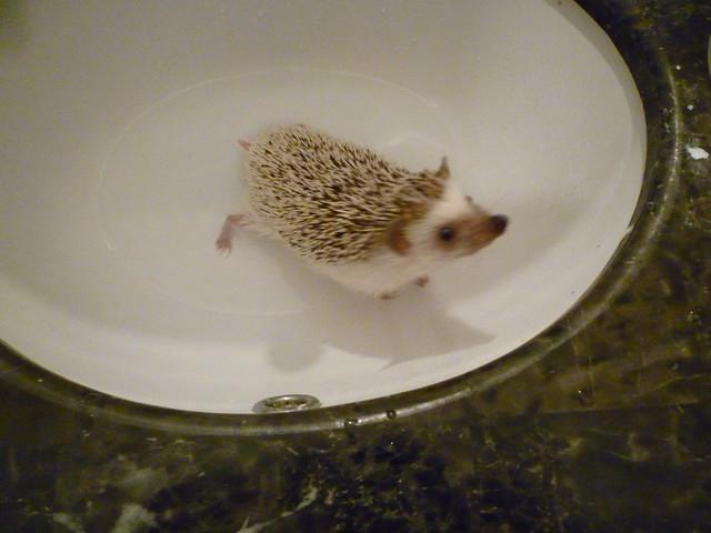 hedgehog bath flickr photo sharing