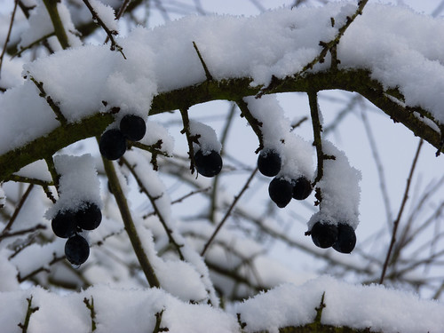 Sloe berries under snow