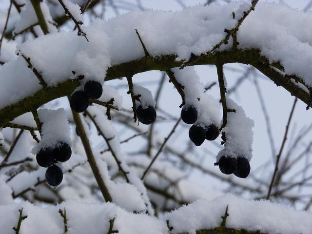 Sloe berries under snow
