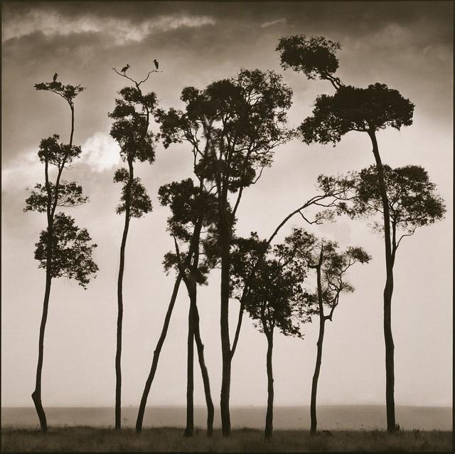 Storks in Treetops, Maasai Mara, by Nick Brandt 2002