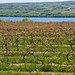 Vineyards along Seneca Lake