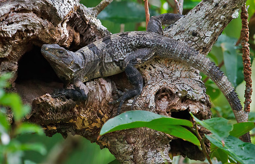 Spiny-tailed Iguana (Ctenosaura similis)