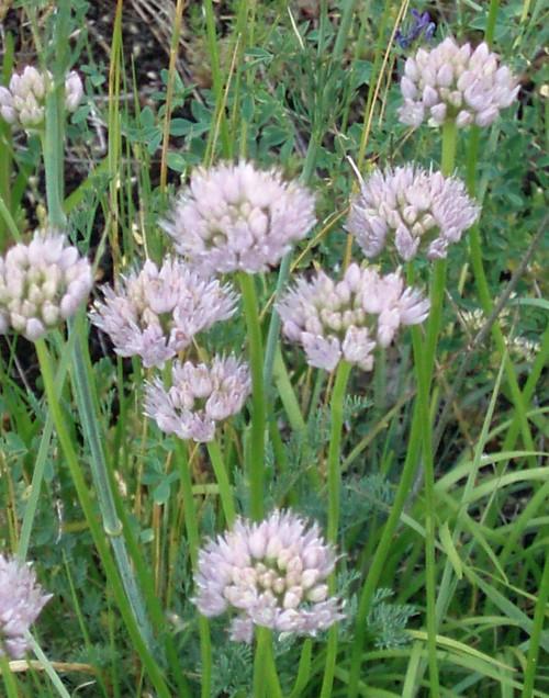 Allium senescens 5298956603_92e311dbb1_o