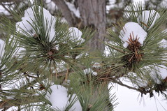 arecales(0.0), flower(0.0), frost(0.0), conifer cone(0.0), twig(0.0), larch(1.0), evergreen(1.0), branch(1.0), pine(1.0), leaf(1.0), winter(1.0), tree(1.0), snow(1.0), flora(1.0), fir(1.0), spruce(1.0),