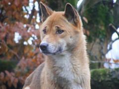 akita inu(0.0), czechoslovakian wolfdog(0.0), gray wolf(0.0), eurasier(0.0), red wolf(0.0), greenland dog(0.0), dhole(0.0), dog breed(1.0), animal(1.0), dingo(1.0), west siberian laika(1.0), dog(1.0), canaan dog(1.0), pet(1.0), shikoku(1.0), east siberian laika(1.0), tamaskan dog(1.0), finnish spitz(1.0), korean jindo dog(1.0), wolfdog(1.0), saarloos wolfdog(1.0), native american indian dog(1.0), norwegian lundehund(1.0), carnivoran(1.0), icelandic sheepdog(1.0),