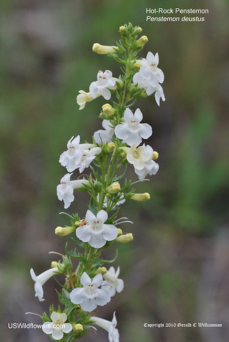Hot-rock Penstemon, Scabland penstemon, Hot-rock Beardtongue - Penstemon deustus