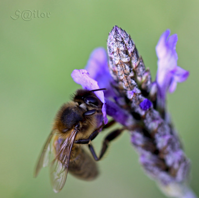 Bee & Lavender (Lavendula) = Honey