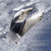 seagull_4074 by imagesbychris