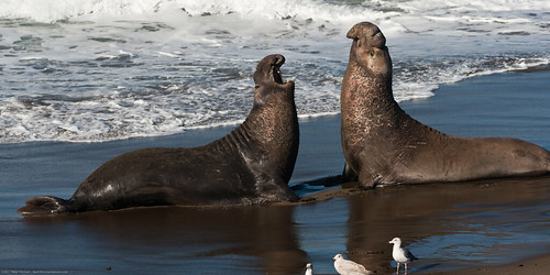Two Alpha Males in Battle. Northern Elephant Seal (M. angustirostris) at Piedras Blancas at sunrise 22Jan2011