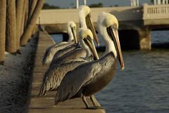 Pretty Pelicans all in a Row