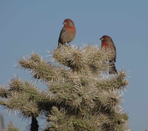 House Finches on Jumping Cholla Cactus, SE of San Manuel, AZ