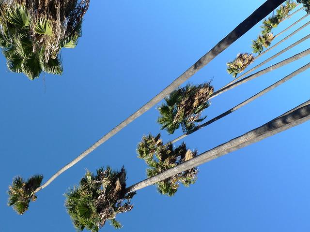 Maltman palms