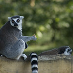 Beekse Bergen - ring-tailed lemurs