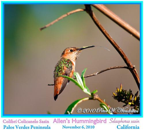 california hummingbird allenshummingbird selasphorussasin palosverdespeninsula hummingbirdtongue birdsofcalifornia hummingbirdphoto peterwendelken hummingbirdphotobypeterwendelken allenshummingbirdphoto fotodecolibrícolicanelosasin lenguadecolibrí hummingbirdimage
