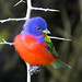 Painted Bunting by Doug Lloyd