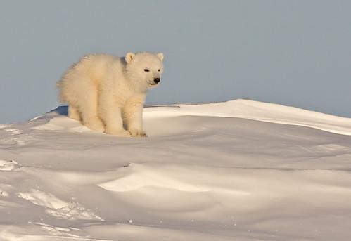 Lone Polar Bear Cub, copyright NPA 2010