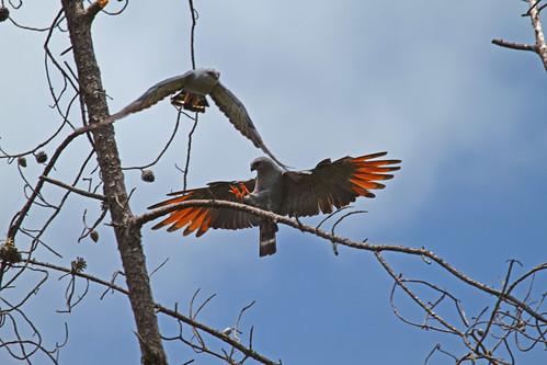 Plumbeous Kite (Ictinia plumbea) - Blyglada