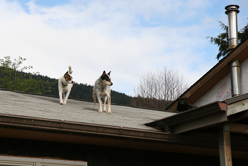 Two dogs on a roof