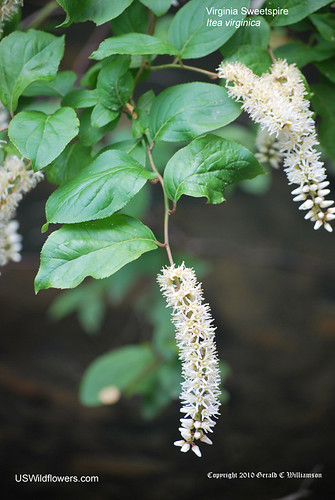 Virginia Sweetspire, Virginia Willow, Tassel-white - Itea virginica