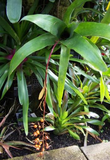Billbergia viridiflora 5334730915_61df632955_o