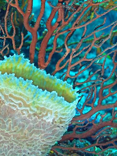 Gorgonian and Pink Vase Sponge, Belize