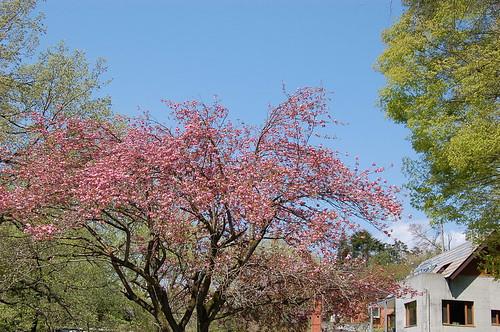 静風舎の八重桜