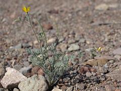 little goldpoppy, Eschscholzia minutiflora
