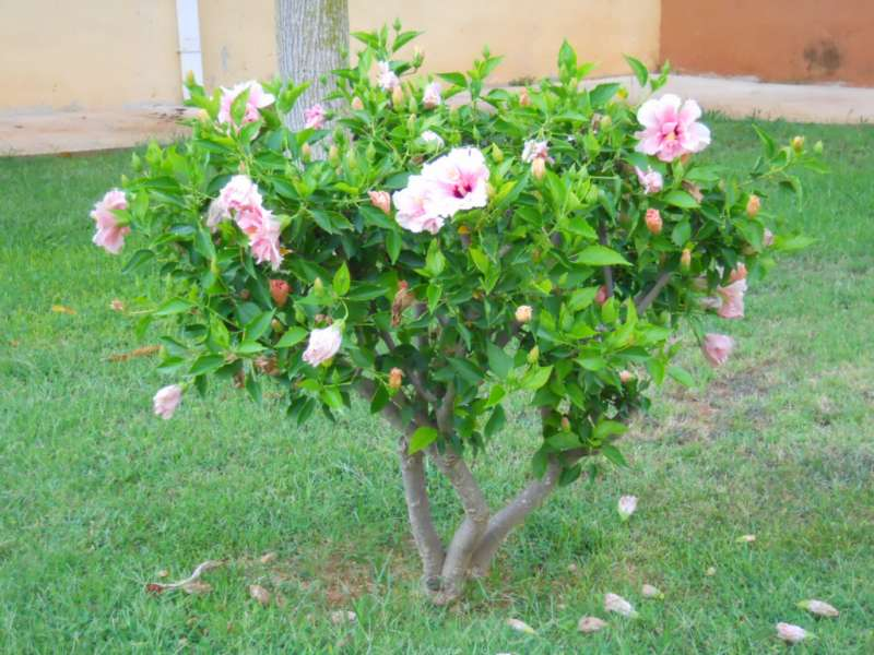 Hibiscus rosa sinensis 'Lissabon' v 2
