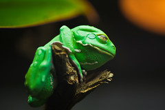 animal, amphibian, frog, reptile, tree frog, macro photography, green, close-up,