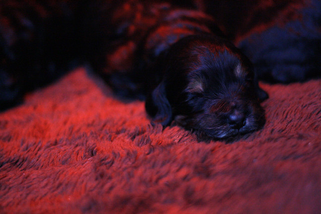 puppy under heat lamp flickr photo sharing. Black Bedroom Furniture Sets. Home Design Ideas