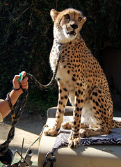 animal, cheetah, small to medium-sized cats, mammal, fauna,