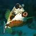 Smooth Trunkfish - Photo (c) LASZLO ILYES, some rights reserved (CC BY)