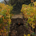 Chickens Eat the Bugs at Antiyal Biodynamic Winery - Maipo Alto, Chile
