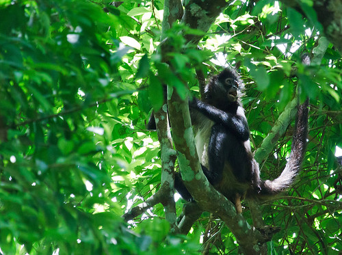 Spider Monkey - Spindelapa