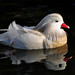 White mandarin drake in reflection