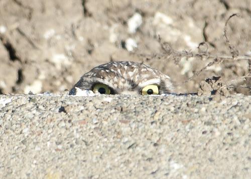 Burrowing Owl-peeking