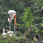 Siberian Crane doing maternal things for family