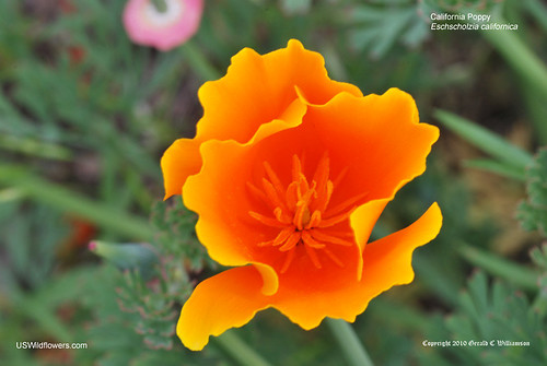 California Poppy - Eschscholzia californica