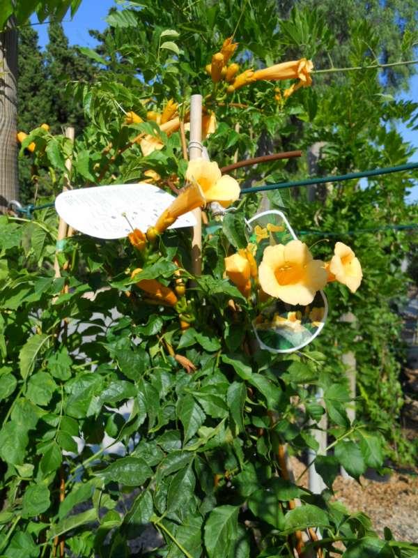 Bignonia campsis radicans 'Flava' v 1