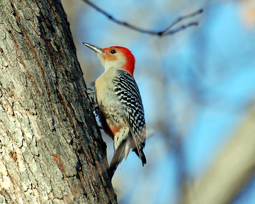 Red-bellied Woodpecker.  Photo © Flickr User: steffro1.