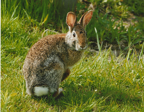 Eastern Cottontail by U. S. Fish and Wildlife Service - Northeast Region